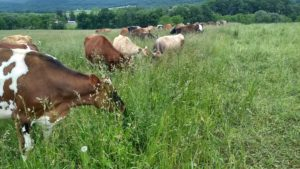 Our cows enjoying the full pasture